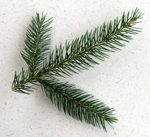 Image result for norway pine branch